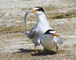 2 terns w fish